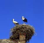 Linum, Ruppiner LandStorchennest. Stoerche, Tiere, Nest.©TMB/Boettcher
